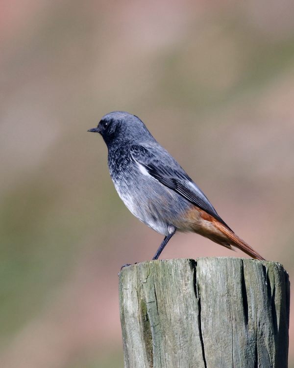Black Redstart, Brean Cove, Somerset. 19th February 2005.