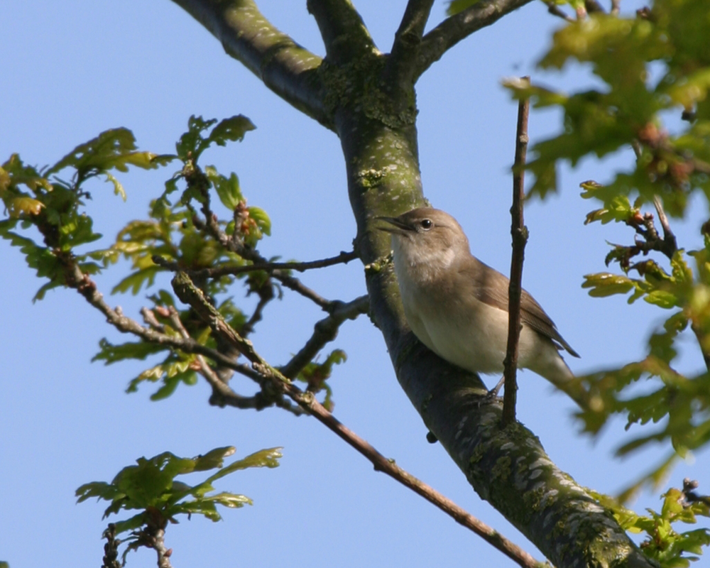 Garden Warbler, North Shore, 2nd May 2005.