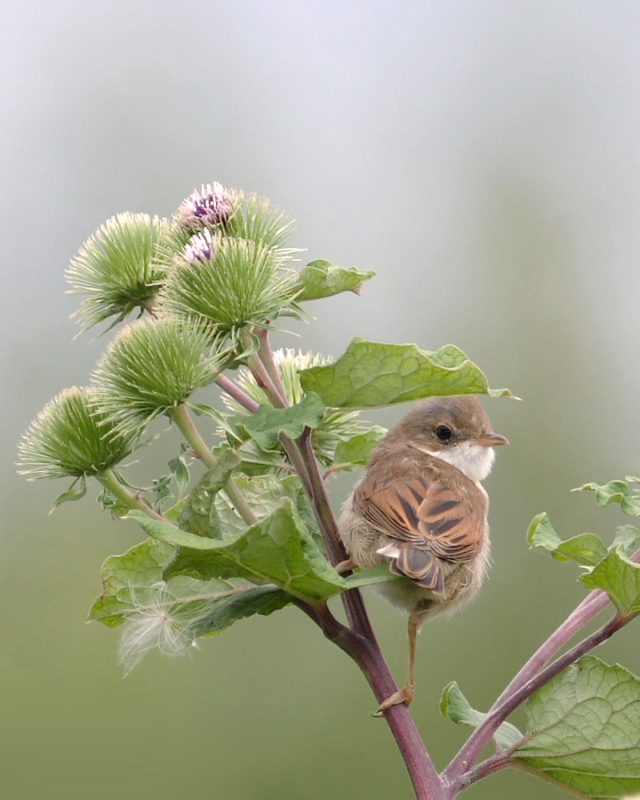 Whitethroat, Somerset Levels, 18th July 2004.