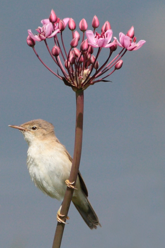 Reed Warbler on Flowering Rush, Lodge, 19th July 2011.