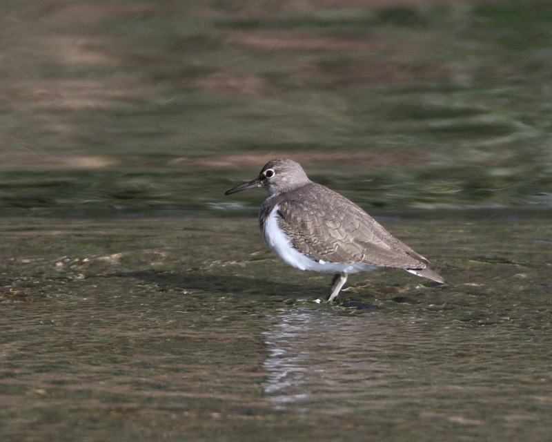 Common Sandpiper Actitis hyoleucos, Overspill, 18th February 2015.
