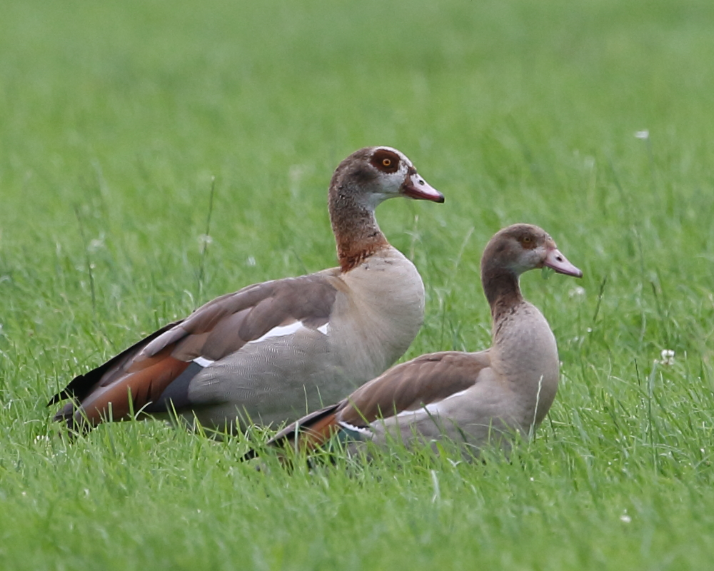 Egyptian Geese, adult & juvenile, 2nd August 2020.
