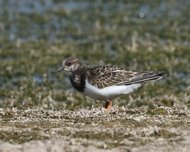 Turnstone, Green Lawn, 22nd August 2020.