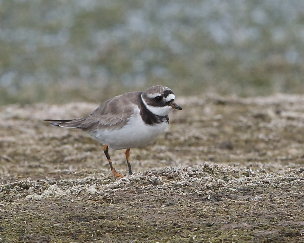 Ringed Plover, Green Lawn, 22nd August 2020.