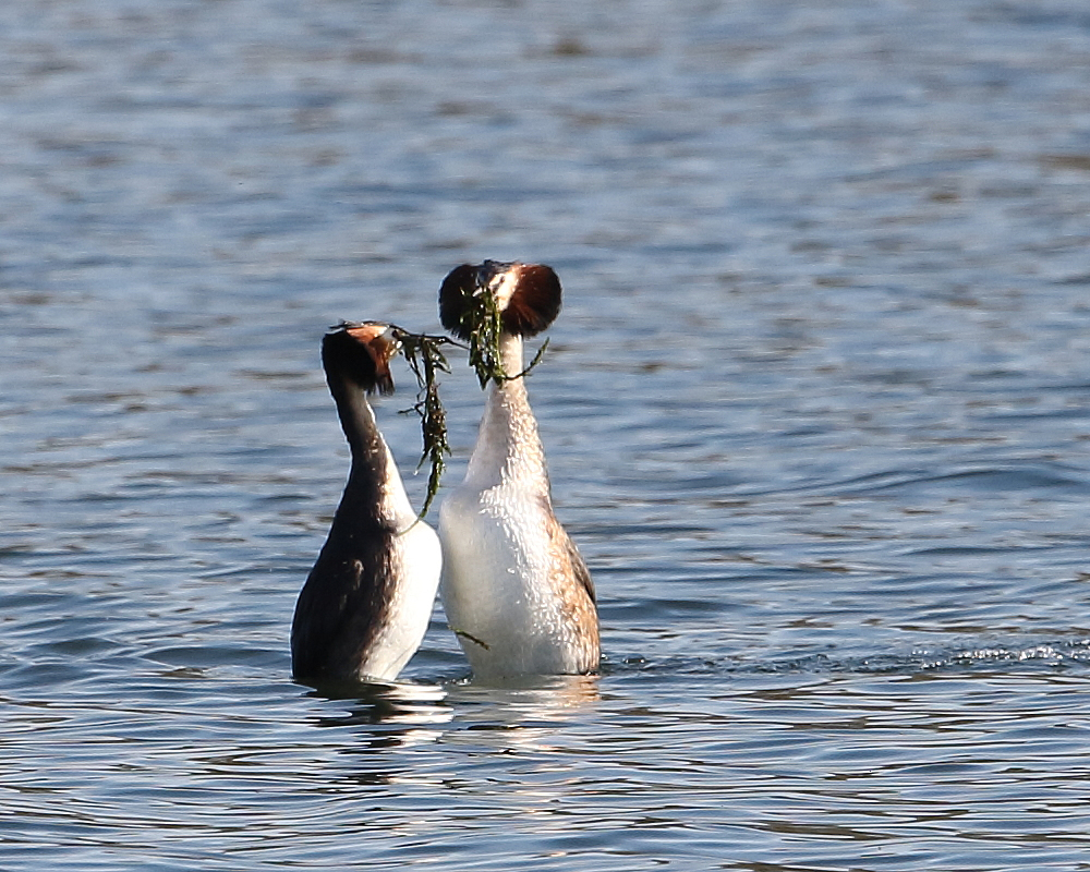 Great Crested Grebes performing the 'weed dance', 25th March 2019.