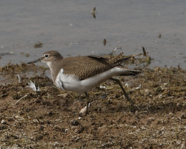 Common Sandpiper, Long Bay, 7th Sept. 2020.
