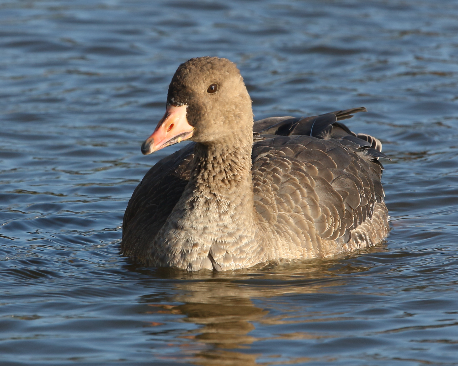 1st-winter Russian White-fronted Goose