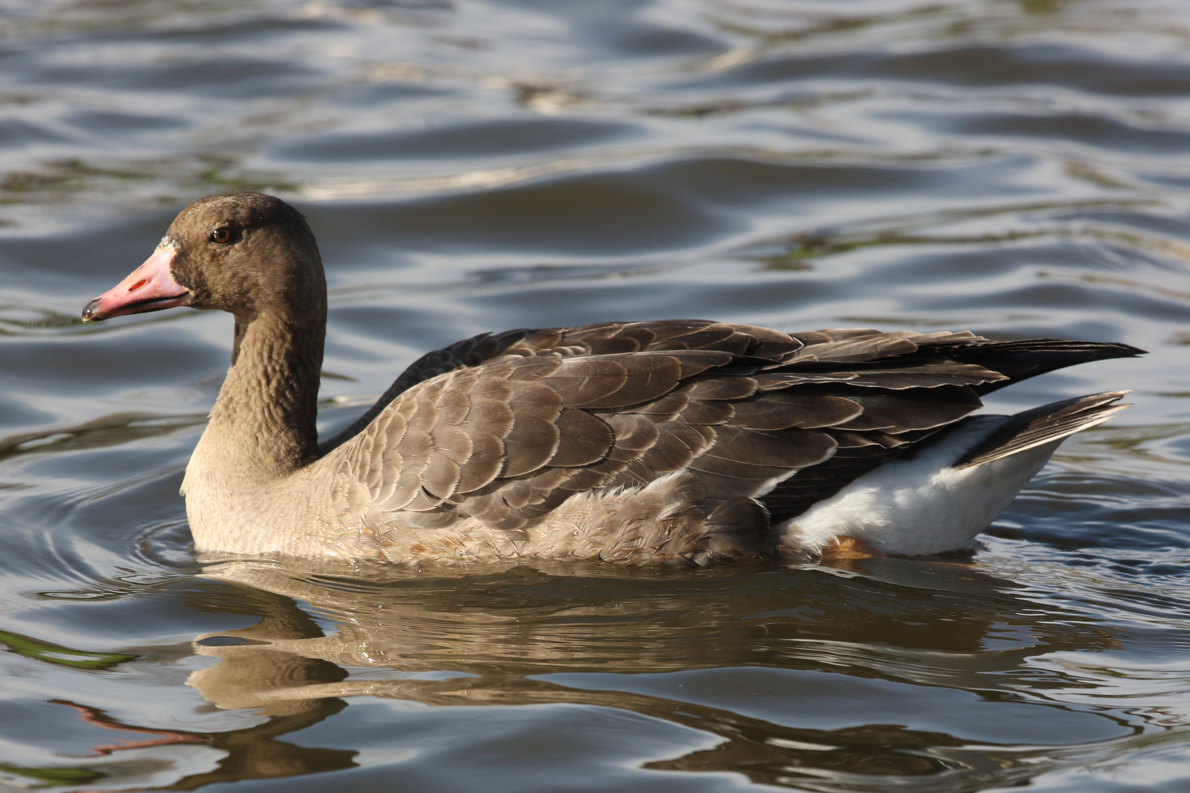 1st-winter Russian White-fronted Goose, Apex Pond, Burnham-On-Sea