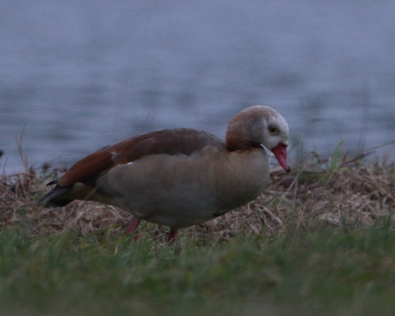 Pale-headed form of Egyptian Goose