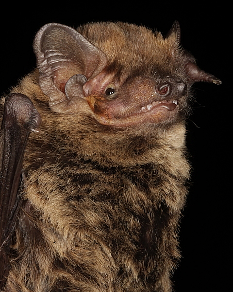Leisler's Bat showing ear detail