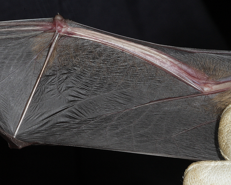 Leisler's Bat showing hairy forearm
